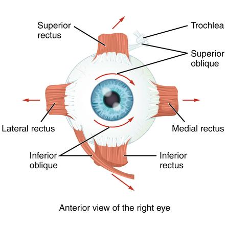 Eye Muscles