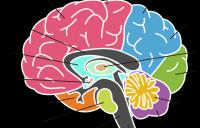 the_brain - brain occipital lobe vision neuroplasticity high resolution